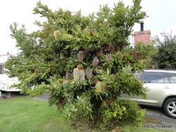 Phil Bendle Collection:Banksia serrata (Saw banksia)