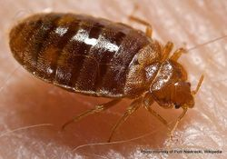 Phil Bendle Collection:Bug (Bed bug) Cimex lectularius