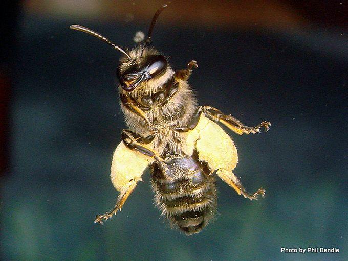 Bee Native Genus Leioproctus 1 .JPG