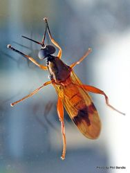 Phil Bendle Collection:Fly (Soldier,Orange) Benhamyia apicalis