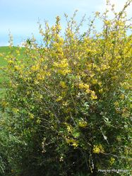 Phil Bendle Collection:Berberis darwinii (Barberry)