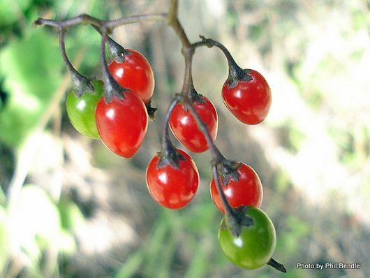 Bittersweet Solanum dulcamara -002.JPG