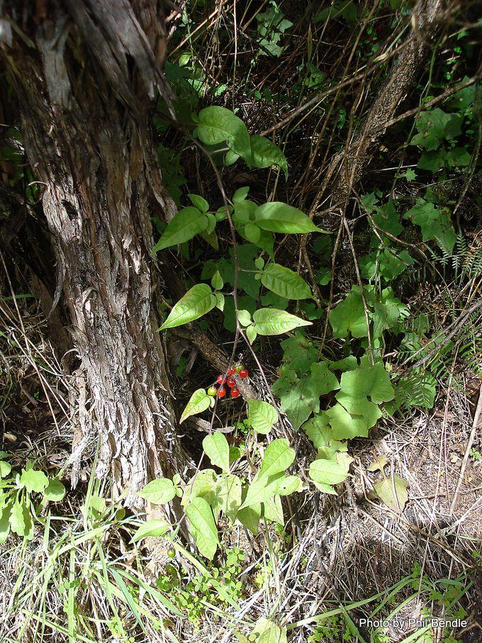 Bittersweet Solanum dulcamara .JPG