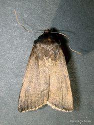 Phil Bendle Collection:Bityla defigurata