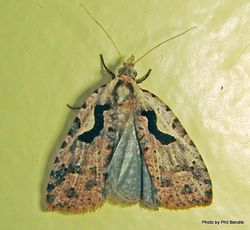 Phil Bendle Collection:Cnephasia jactatana (Black-lyre leafroller moth)