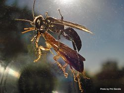 Phil Bendle Collection:Wasp (Black Cockroach Hunter) Tachysphex nigerrimus