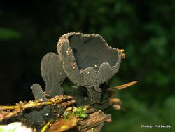 Phil Bendle Collection:Plectania species (Cup fungi (Black)