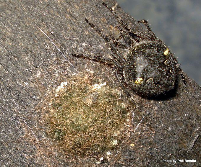 Black Garden Orbweb spider Eriophora pustulosa.JPG