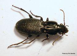 Phil Bendle Collection:Beetle (Holcaspis oedicnema) Carabidae