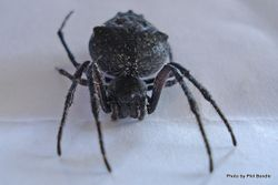 Phil Bendle Collection:Orbweb spider (Black) Family Araneidae