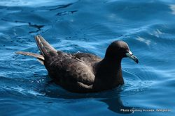 Phil Bendle Collection:Petrel (Black petrel) Procellaria parkinsoni