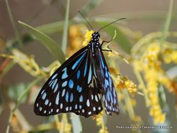 Phil Bendle Collection:Blue Tiger butterfly (Tirumala hamata hamata)