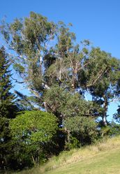 Phil Bendle Collection:Eucalyptus (Genus ) Blue Gum