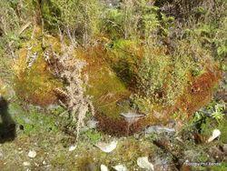 Phil Bendle Collection:Sphagnum (Bog Moss)