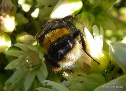 Phil Bendle Collection:Bumble Bees(Genus Bombus)