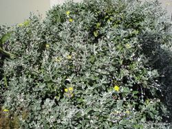 Phil Bendle Collection:Brachyglottis greyi (Daisy Bush)