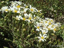 Phil Bendle Collection:Brachyglottis hectorii (Hectors Tree Daisy)