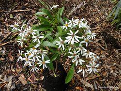 Phil Bendle Collection:Brachyglottis kirkii var. kirkii (Kirk s daisy)