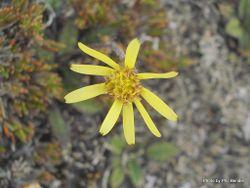 Phil Bendle Collection:Brachyglottis lagopus (Yellow rock daisy)