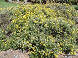 Phil Bendle Collection:Brachyglottis monroi (Monro s daisy)