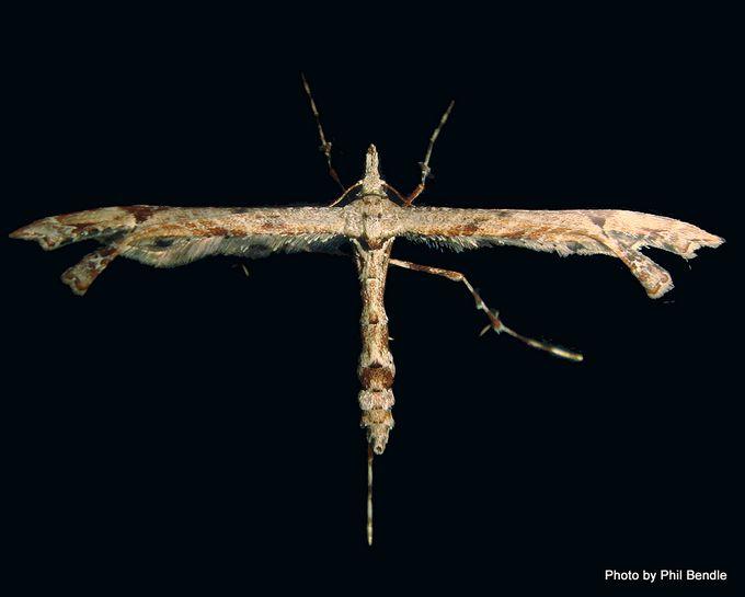Brown Plume Moth purerehuhu Platyptilia falcatalis .JPG