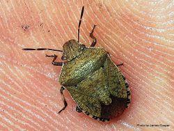 Phil Bendle Collection:Bug (Shield bug) (Brown shield bug) (Dictyotus caenosus)