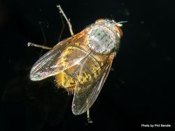Phil Bendle Collection:Fly (Blowfly, Brown) Calliphora stygia
