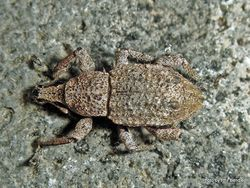 Phil Bendle Collection:Weevil (Catoptes binodis)