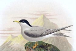 Phil Bendle Collection:Tern (Black-fronted) Chlidonias albostriatus