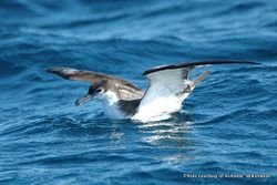 Phil Bendle Collection:Shearwater (Buller s) Ardenna bulleri