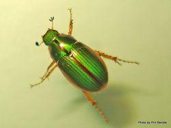 Phil Bendle Collection:Beetle (Chafer) (Manuka) Pyronota festiva