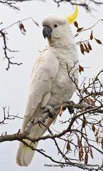Phil Bendle Collection:Cockatoo (Sulphur-crested) Cacatua galerita