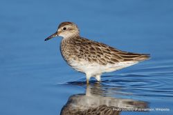Phil Bendle Collection:Sandpiper (Sharp-tailed) Calidris acuminata