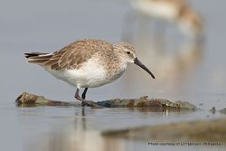 Phil Bendle Collection:Sandpiper (Curlew) Calidris ferruginea