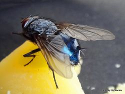 Phil Bendle Collection:Fly (Blowfly, Bluebottle) Calliphora vicina