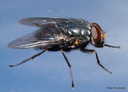 Phil Bendle Collection:Fly (Calliphoroides antennatis) NZ native fly