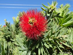 Phil Bendle Collection:Callistemon citrinus (Crimson Bottlebrush)
