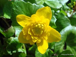 Phil Bendle Collection:Caltha palustris (Marsh Marigold)
