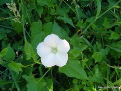 Phil Bendle Collection:Calystegia silvatica (Great Bindweed)