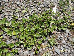 Phil Bendle Collection:Calystegia soldanella (Shore bindweed)