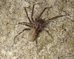 Phil Bendle Collection:Sheetweb Spider (Cambridgea fasciata)