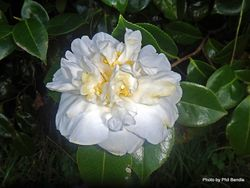 Phil Bendle Collection:Camellias Japonica varieties