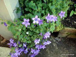Phil Bendle Collection:Campanula portenschlagiana (Wall Bellflower)