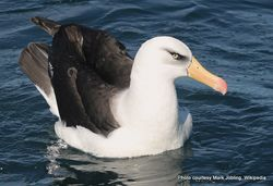 Phil Bendle Collection:Albatross (Campbell mollymawk) Thalassarche impavida