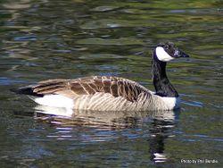 Phil Bendle Collection:Goose (Canada) Branta canadensis