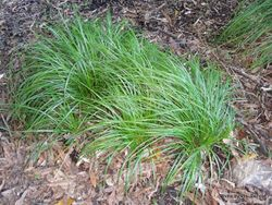 Phil Bendle Collection:Carex lambertiana (Forest sedge) Native