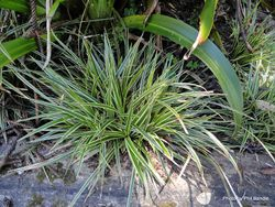 Phil Bendle Collection:Carex morrowii (Morrows Sedge) Exotic
