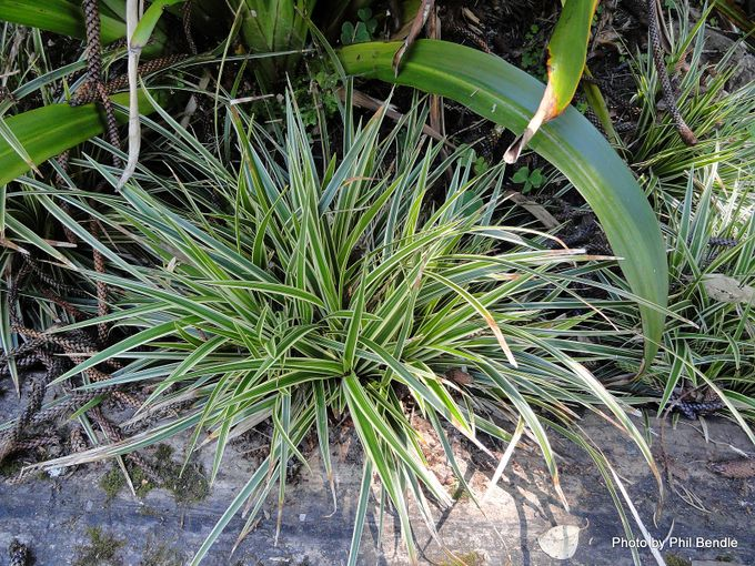 Carex morrowii Morrows Sedge .JPG