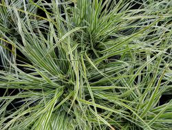 Phil Bendle Collection:Carex oshimensis Everest (Everest sedge) Exotic