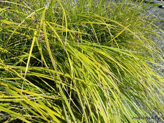 Carex secta Pukio.JPG